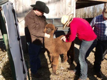 Another Alpaca at Maple Grove Farm