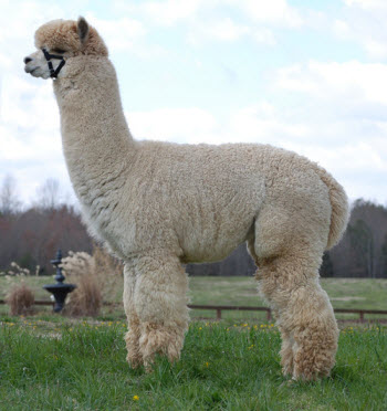 Alpacas of Maple Grove Farm